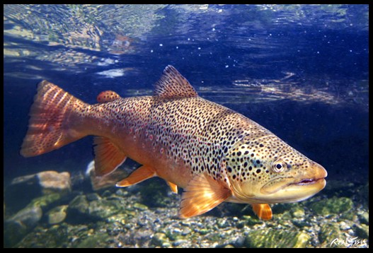 Brown Trout Realfish USA Inland Series