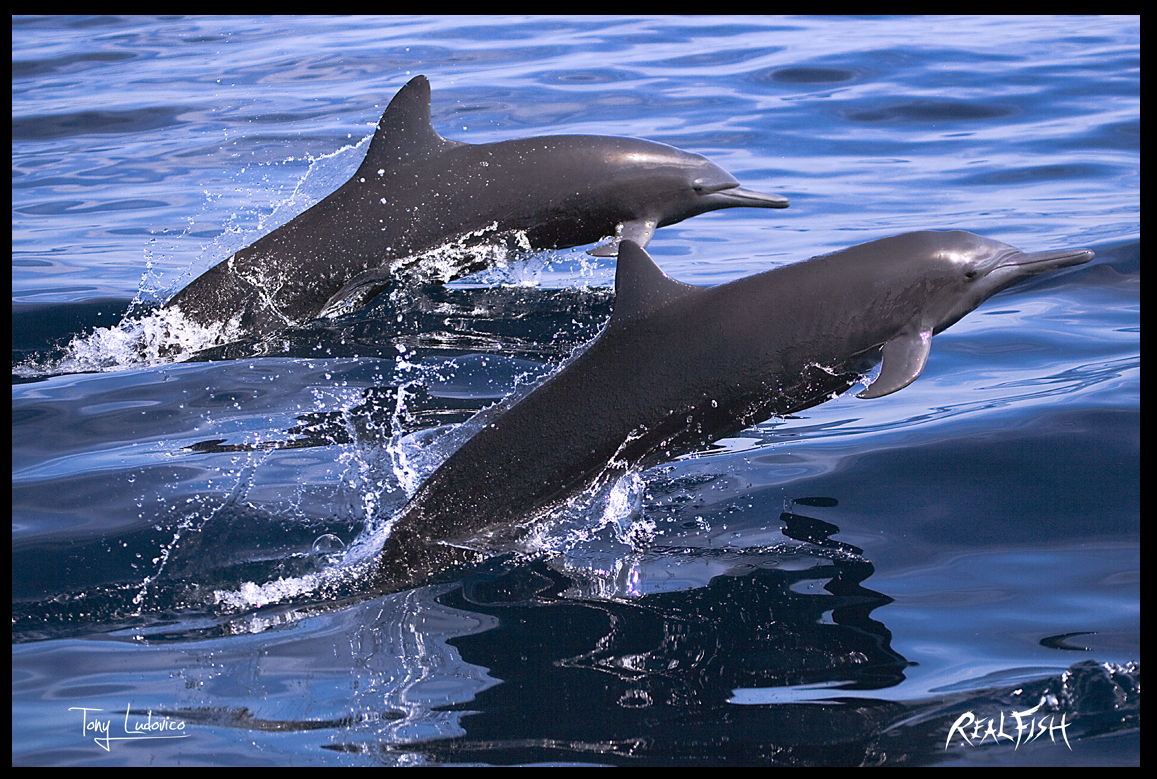 Spinner Dolphins 24x36