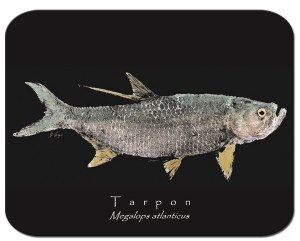 Tarpon black board